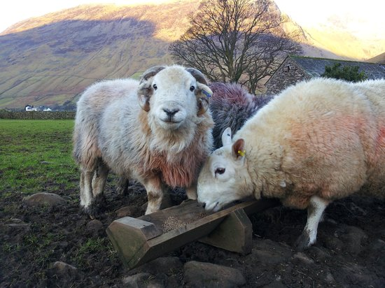 Burnthwaite Farm :                   Tups having breakfast
