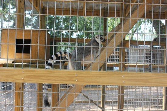 Luray Zoo - A Rescue Zoo: Cute lemur