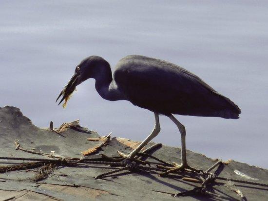 Cheung Chau Island:                   Cormorant