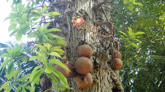 Dominica Botanic Gardens: I forget what this tree was called, those are the size of cannonballs though!