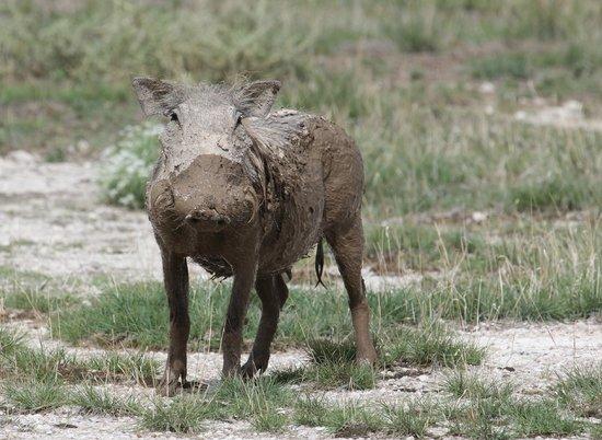 Porini Amboseli Camp: Warthog after Mud Bath!