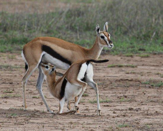Porini Amboseli Camp: Thompson's Gazelle
