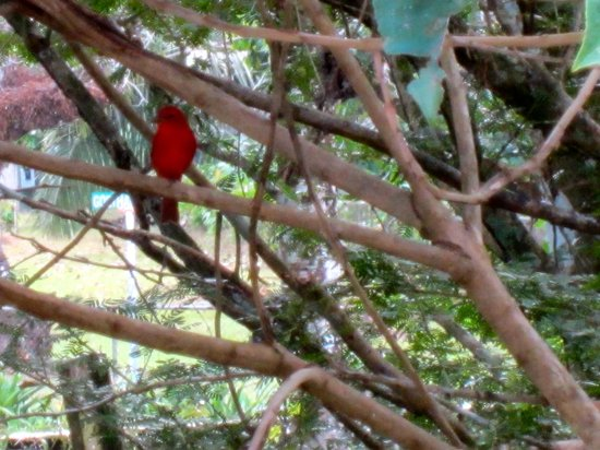 Gamboa Rainforest Resort : Bird Outside Room