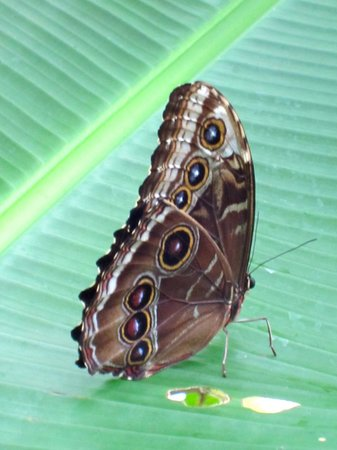 Gamboa Rainforest Resort : Butterfly in Butterfly House