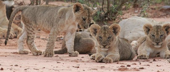 ‪‪Porini Amboseli Camp‬: Selenkay Pride - 10 week old cubs‬