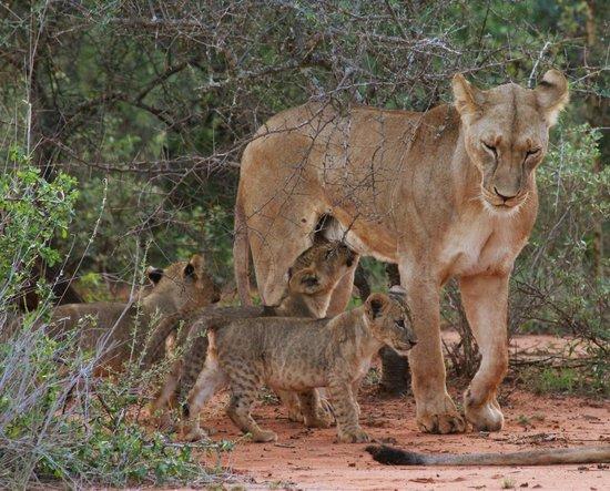 Porini Amboseli Camp: Selenkay Pride