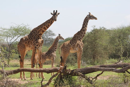 Porini Amboseli Camp: Abundance of Giraffe Everywhere