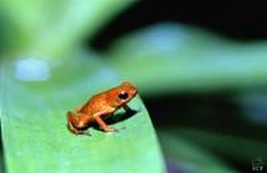 Corcovado National Park:                   some type of frog we saw