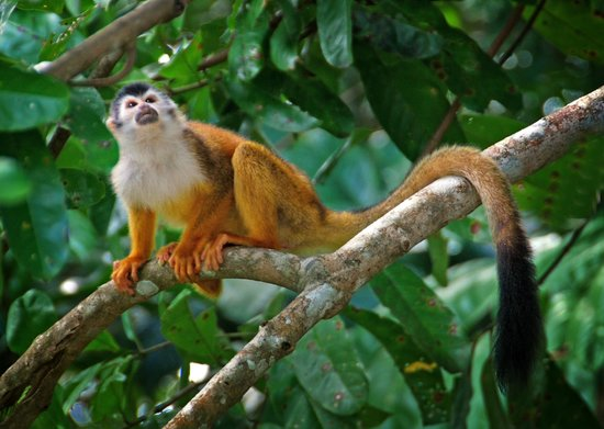 Corcovado National Park:                   monkeys are all over