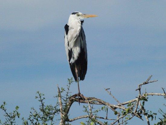 Bundala National Park:                   Grey Heron