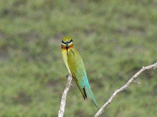 Bundala National Park:                   Blue tailed bee eater