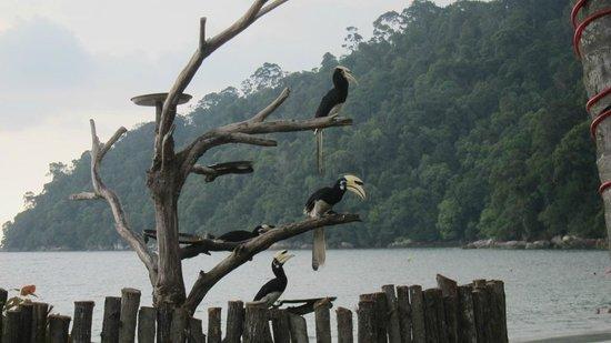 Pangkor Island Beach Resort:                   Hornbill near poolside
