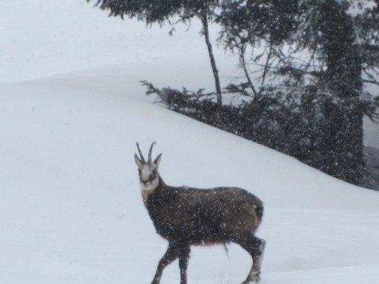 Hotel Petit Dahu :                   Camoscio incontrato sulle piste di sci di fondo