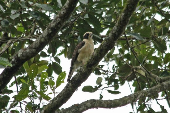 Casa Divina Lodge:                   Laughing Falcon