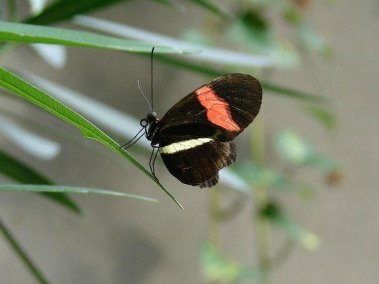 Cambridge Butterfly Conservatory:                   Small Postman