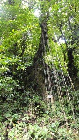 Jungle Bay, Dominica:                   excursion cascade trafalgar