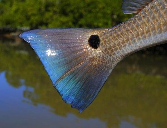 Backcountry Fishing Charters: Redfish tail