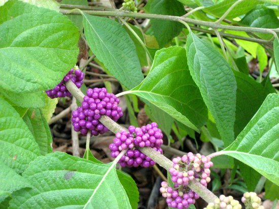 West Martello Tower:                   American Beautyberry