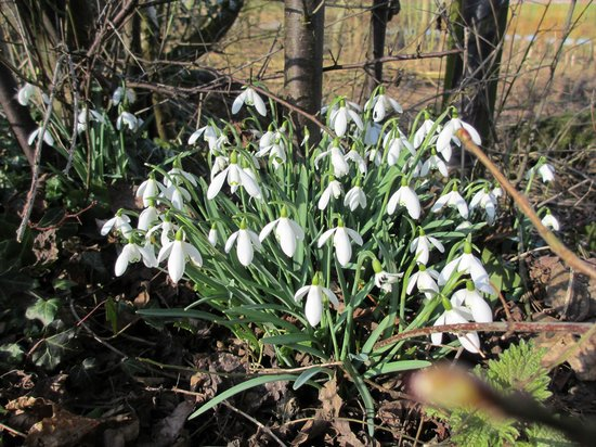 The Wharf House:                   Snowdrops along the towpath