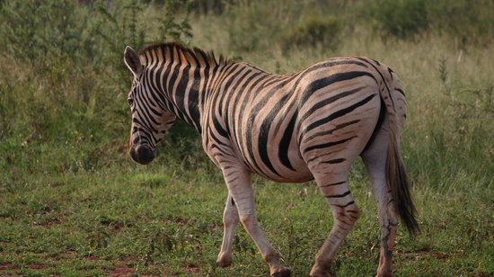 Jaci's Tree Lodge:                   Zebra seen on our game drive