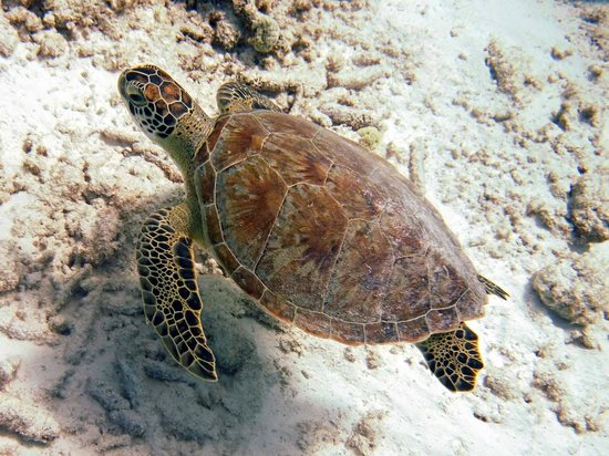 Divi Flamingo Beach Resort and Casino:                   Sea Turtle on boat dive at Divi Dive Bonaire
