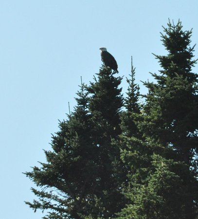 Seguin Island and Lighthouse:                   Bald eagle