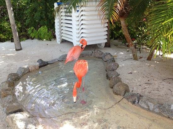 Renaissance Aruba Resort & Casino:                   flamingos hanging on the beach