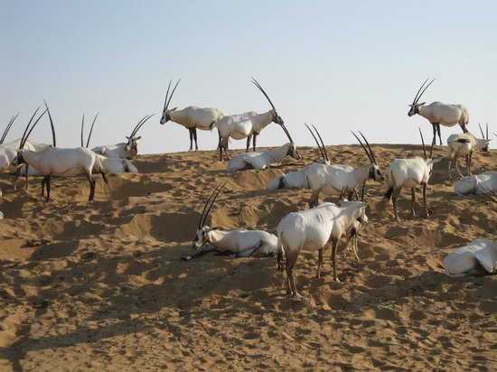 Al Maha, A Luxury Collection Desert Resort & Spa:                   The Oryx have a salt liking good time.