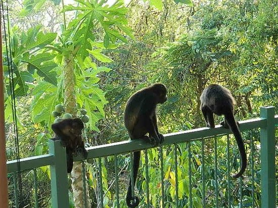 Villa Mango:                   monkeys next to pool