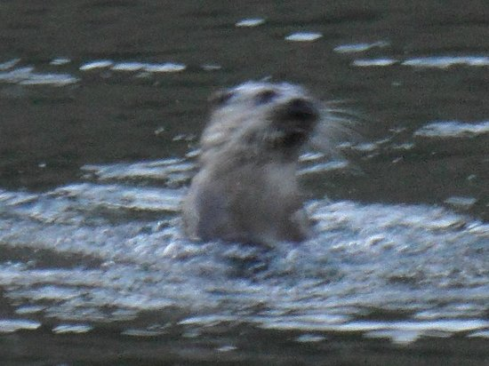 The Old Rectory on the Lake:                                     Male otter