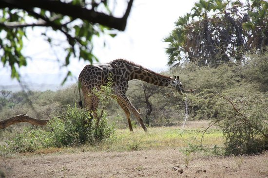 Severin Safari Camp:                   Giraffe drinking at the pool in front of the lobby