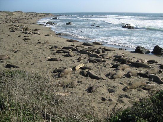 Piedras Blancas:                   100's of wonderfuls seals!