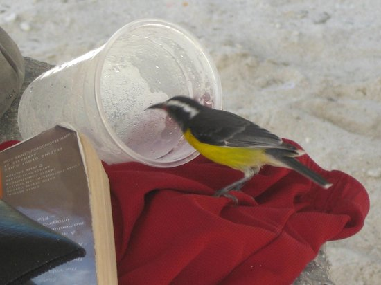 Sun Reef Village:                   SUGARBIRD ENJOYING A PINA COLADA