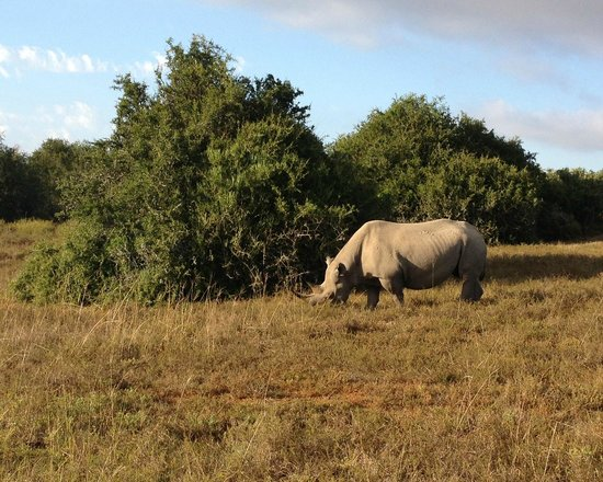 Shamwari Game Reserve Lodges:                   Black Rhino, endangered but well protected at Shamwari