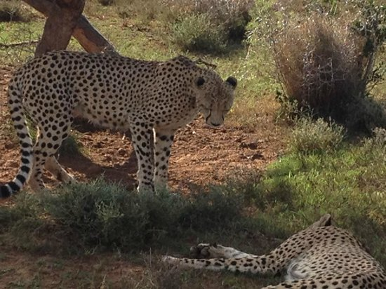Shamwari Game Reserve Lodges:                   Rangers are great at finding the animals, cheeta in this case
