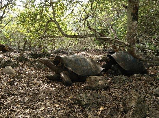 San Cristobal, الإكوادور:                   Tortoise                 