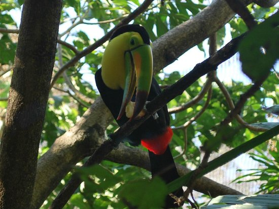 Xaman Ha Aviary:                   toucan