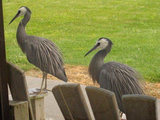 Ipipiri Lodge : Mr and Mrs blue heron