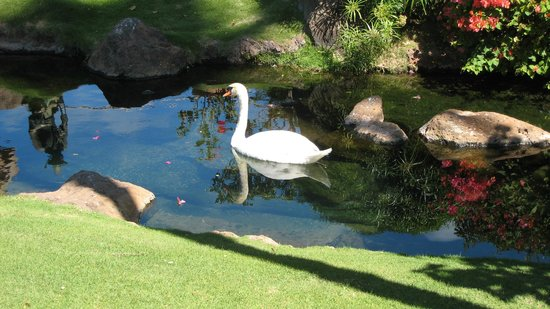 Westin Maui Resort And Spa:                                     the swans in the lagoon