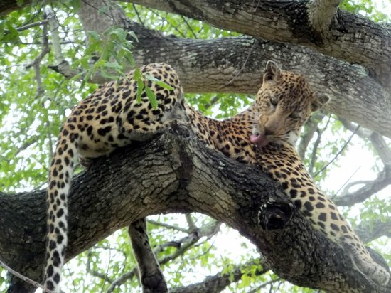 Arathusa Safari Lodge:                   Leopard on game drive