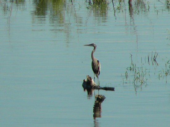 The River Nest B&B: Blue Heron summer visitor