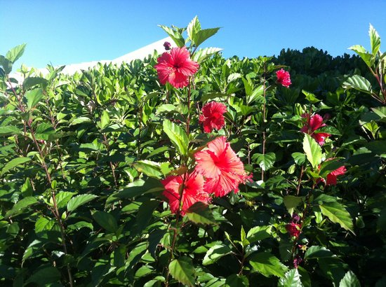 Barefoot Cay:                   Hibiscus