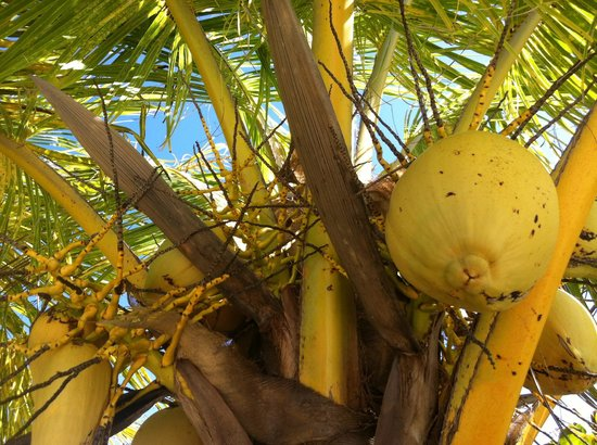 Barefoot Cay:                   Low-hanging coconuts