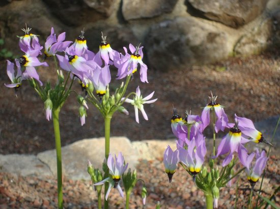 Regional Parks Botanic Garden:                   Channel Island Shooting Stars
