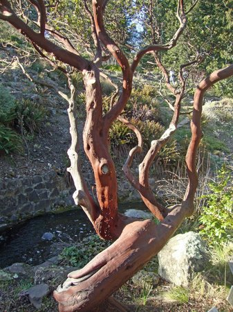 Regional Parks Botanic Garden:                   Many species of manzanita here.
