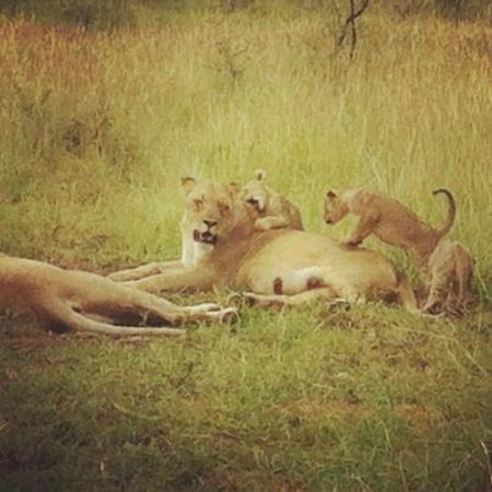 Rhulani Safari Lodge:                   Lioness and cubs