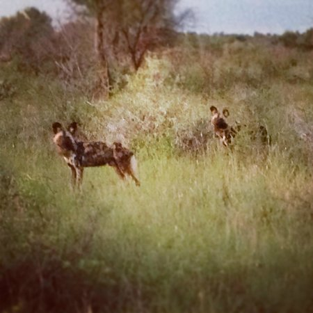 Rhulani Safari Lodge:                   Wild dog on the hunt