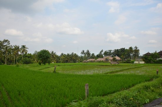 Viceroy Bali:                   Rice terraces just outside of hotel
