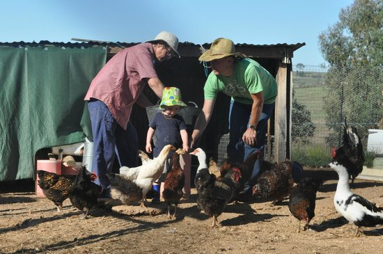 Barcoos Farmstays Bathurst:                   Feeding the chickens