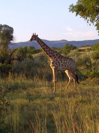 Bakubung Bush Lodge:                                     Game drive